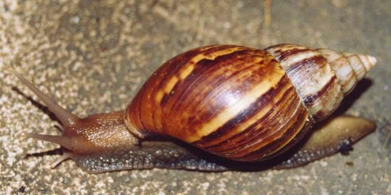 achatina fulica snail specie
